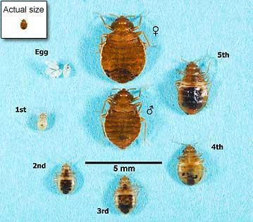 bed bugs sizes